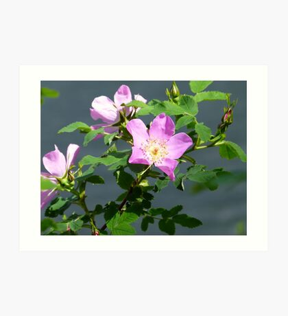 Wild Rose Flower Plant Nature Art Print