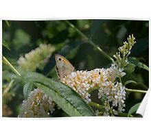 Nature Insect Butterfly Wild Lilac White Lilac Poster