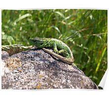 Lizard Sand Lizard Reptile Nature Animal Poster