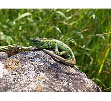 Lizard Sand Lizard Reptile Nature Animal Photographic Print