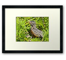 Red Robin Bird Animal Feathered Nature Framed Print