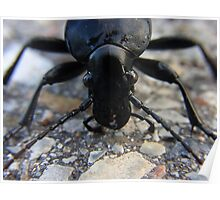 Insect Beetle Ground Beetles Carabus Nature Poster