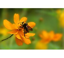 Bumble Bee Busy Photographic Print