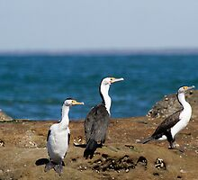 3 pied Cormorants by Nikki25