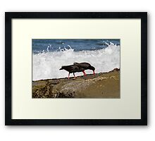Two Sooty Oystercatchers Framed Print