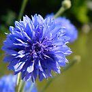 Cornflower Blue by shalisa