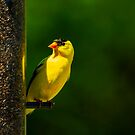 American Gold Finch by Richard Lee