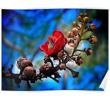 red silk cotton tree flower Poster