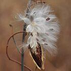 Milkweed - gone to seed... by Poete100