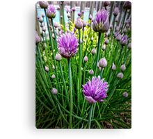 Chive Buds Canvas Print