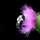Bumble Bee on Thistle by Debbie Pinard