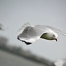 Seagull in Flight by TheaShutterbug