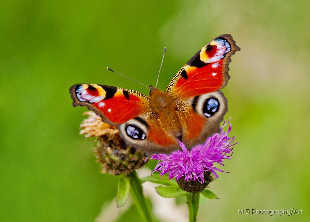 Peacock Butterfly by M.S. Photography/Art