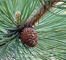 Pine Beginnings by Brenda Hagenson