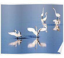 White Egrets on Pond Poster