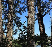 Balsam Poplar trees by Jim Sauchyn