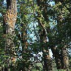 Old Balsam Poplars by Jim Sauchyn