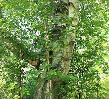 Leaning Birch Tree by Jim Sauchyn