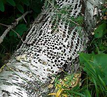 Pecked Birch by Brenda Hagenson