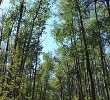 Hiking trail in tall aspen poplar trees by Jim Sauchyn