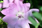 Musk Mallow by Kathleen Daley