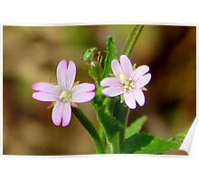 Willow-herb Poster