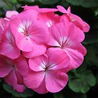 Sunlit Geranium Rose by kathrynsgallery