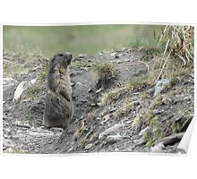 Marmot on guard Poster