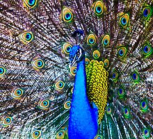 Peacock Close Up by clizzul