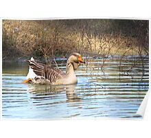 Duck in Pond Poster