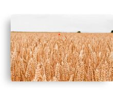 A lone poppy in a field of wheat.  Canvas Print
