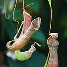 Tropical Pitcher Plants, Cairns Botanic Gardens, Queensland by Adrian Paul