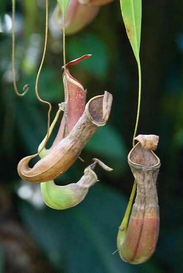 Tropical Pitcher Plants, Cairns Botanic Gardens, Queensland