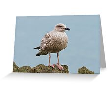 Young Gull Greeting Card