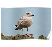 Young Gull Poster
