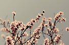 Blossoms... by Carol Knudsen