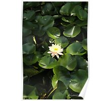 Lotus Flower & Lily Pads Poster
