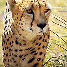 Baby Cheetah by GayeLaunder Photography