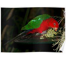 King Parrot feeding Poster