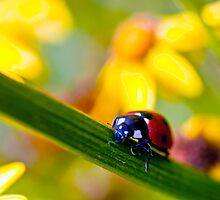Ladybird on Ragwort by Vicki Field