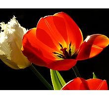 Tulip Delight Photographic Print