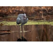 Little Blue Heron (Egretta caerulea) Photographic Print