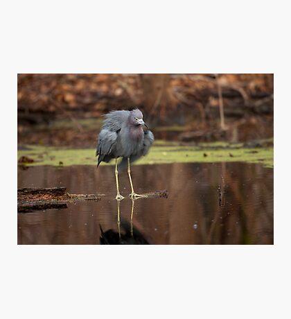 Little Blue Heron (Egretta caerulea) Photographic Print