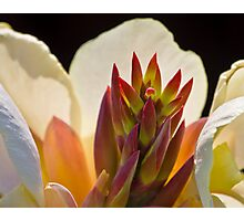 Canna Variety Photographic Print