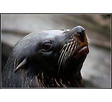 South American Fur Seal Photographic Print