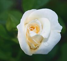 A rose like a white lily by ♥⊱ B. Randi Bailey