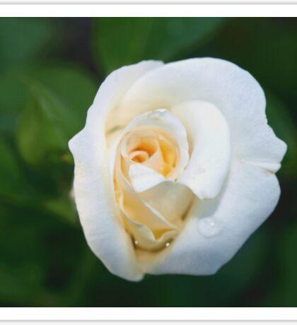 A rose like a white lily Sticker
