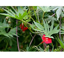 Hummingbird Vine Photographic Print