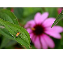 Insect and Echinacea Blossom Photographic Print