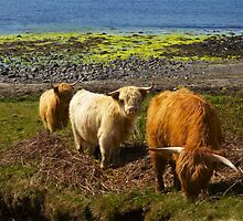 Trio of Hairy Coos by Karen Marr